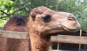 6_Camel.JPG
