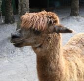 9_Alpaca.JPG