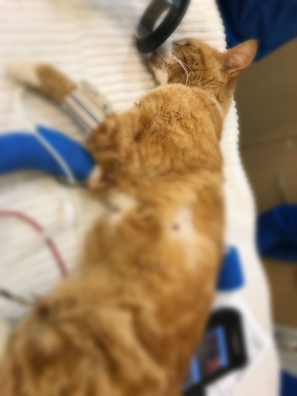 Ginger in critical condition