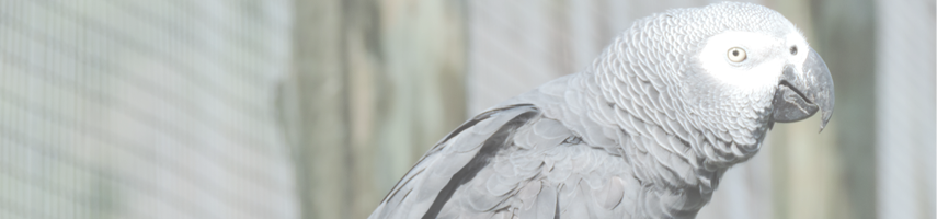 african-grey-page.png