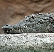 Nile_crocodile_head-1280x853_edited.jpg