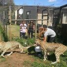 lisa cheetahs.jpg