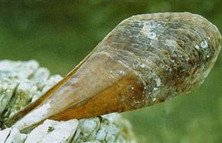 สัตว์ทะเลกับนักไคท์เซิร์ฟ : หอยจอบ