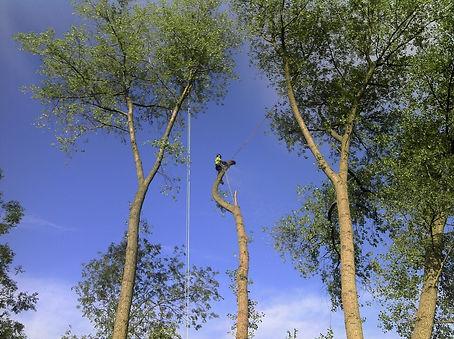 Dismantling of Poplar tree in Sutton Coldfield tree surgeon near me