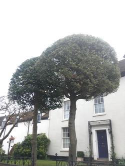 Trim/shape Holly trees
