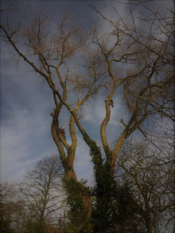 Dismantling of black Poplar