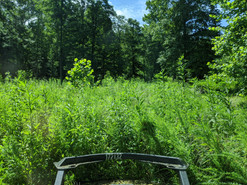 Overgrown field ready to be cut with bush hog attachment on skidsteer.