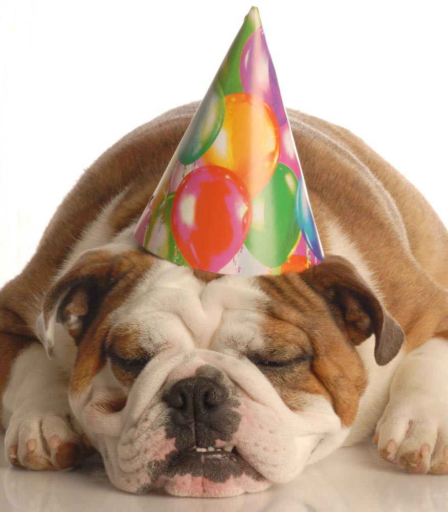 Bulldog in birthday hat