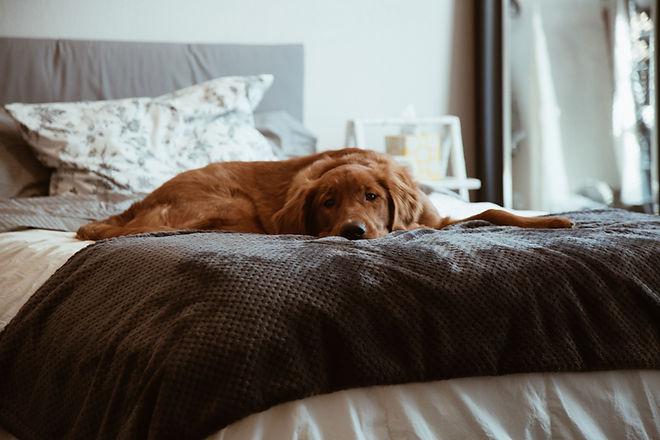 Lazy Brown Dog