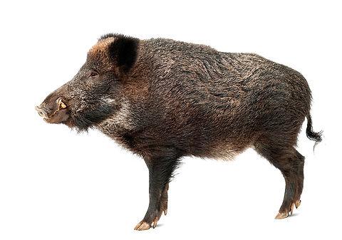 Wild-boar,-also-wild-pig,-Sus-scrofa,-st