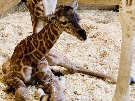 Giraffe Watch 2019: April Gave Birth