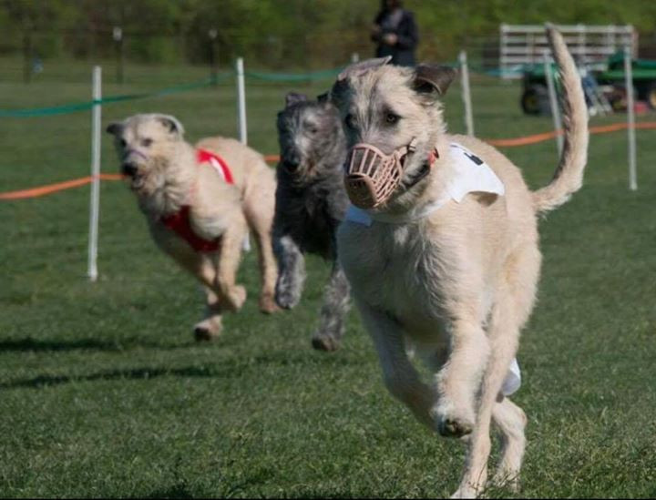 Jackie Blue out in the lead of her 3rd 200 Yard LGRA racing at Purina Farms Irish Wolfhound Club Of America National Specialty and crowned the BEST Of BREED over 50 of the nations top Irish Wolfhounds. Paw-Tay