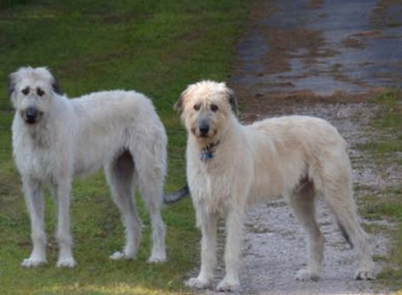 So you want to be a part of an Irish Wolfhound Club & have unconditional support.