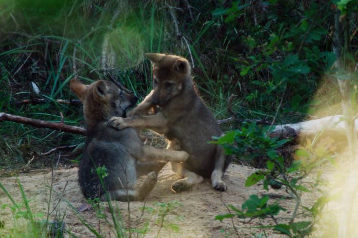 Wolfswelpen am Bau