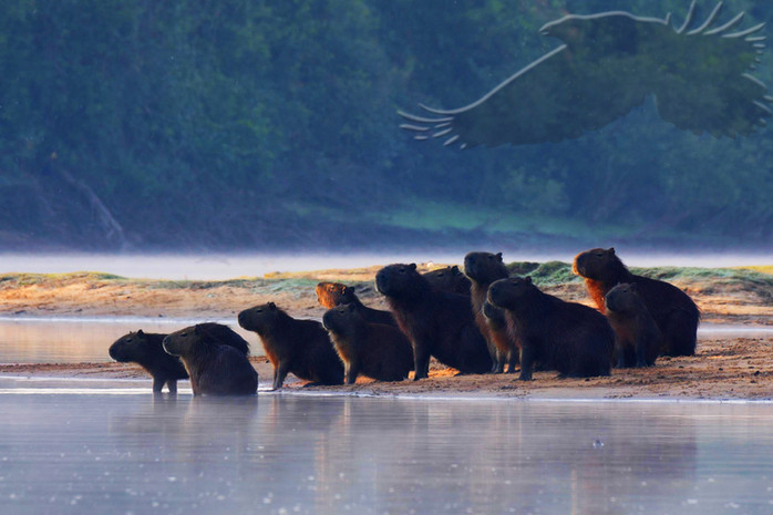 Wasserschweine - Capybaras