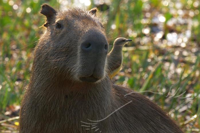 Wasserschwein - Capybara