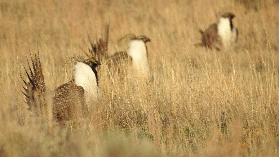 Male Greater-sage Grouse on the Lek - Buffalo, WY