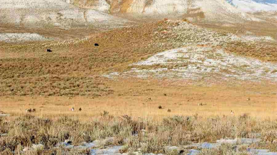 Greater Sage-grouse Lek near Buffalo WY