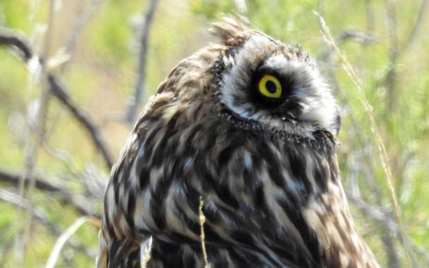 Short-eared Owl on alert