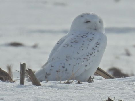 Male Snowy Owl in corn field near Freedom, Wisconsin
