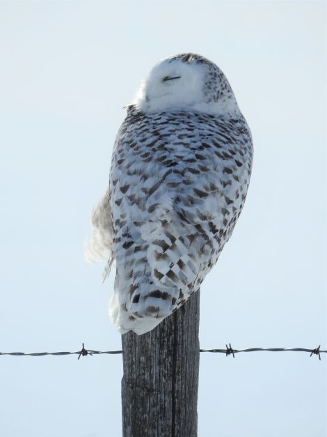 Female Snowy Old Barbed Wire Fence Post