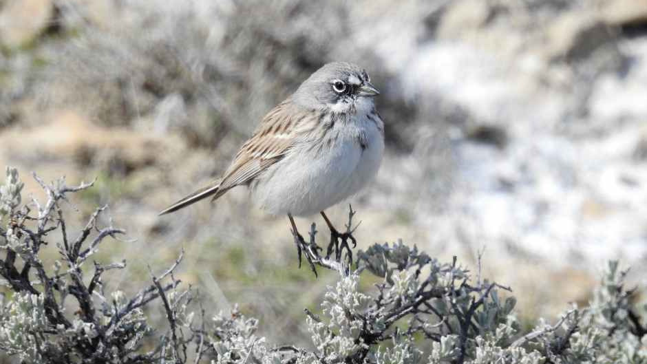 Sagebrush Sparrow shot with a Superzoom