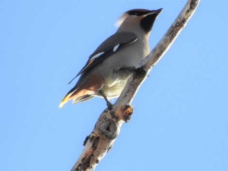 Bohemian Waxwing Kiwanis Campground Ft Peck, MT