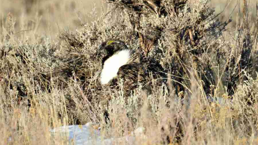 Greater Sage-grouse Nestled in Sage
