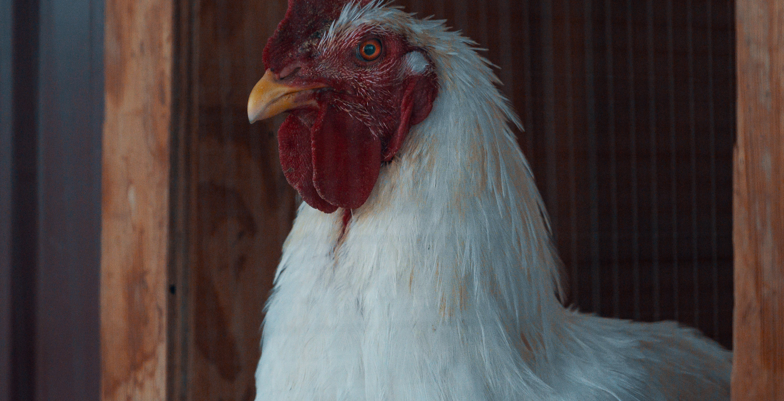 Rescued Chickens | LUVIN ARMS Animal Sanctuary | Erie, Colorado