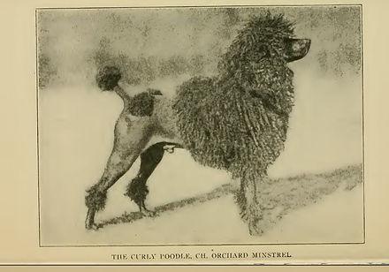 1903 pudel.jpg