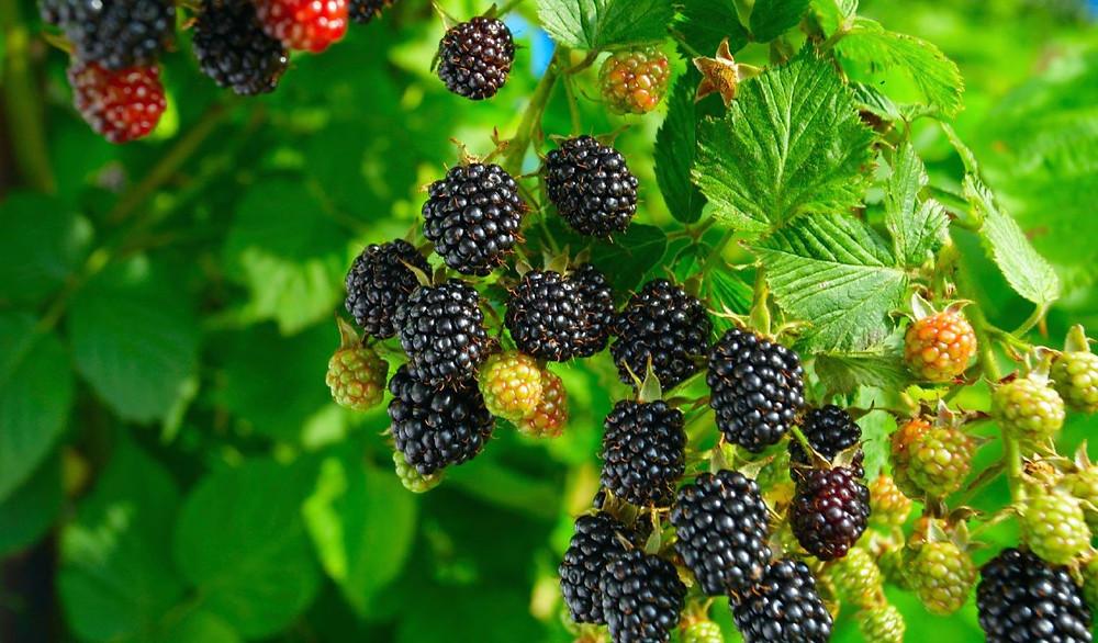Blackberries ripening on the vine