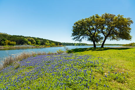 Beautiful bluebonnets along a lake in the Texas Hill Country.jpg