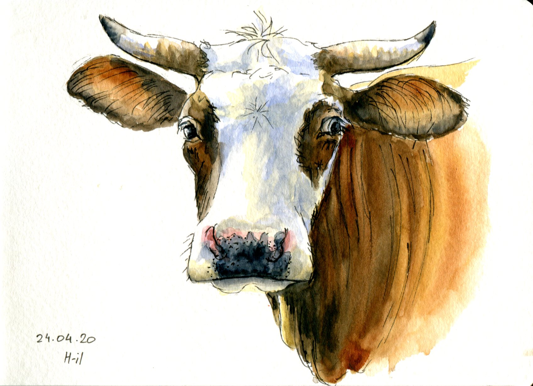 Vache blanche et brune041