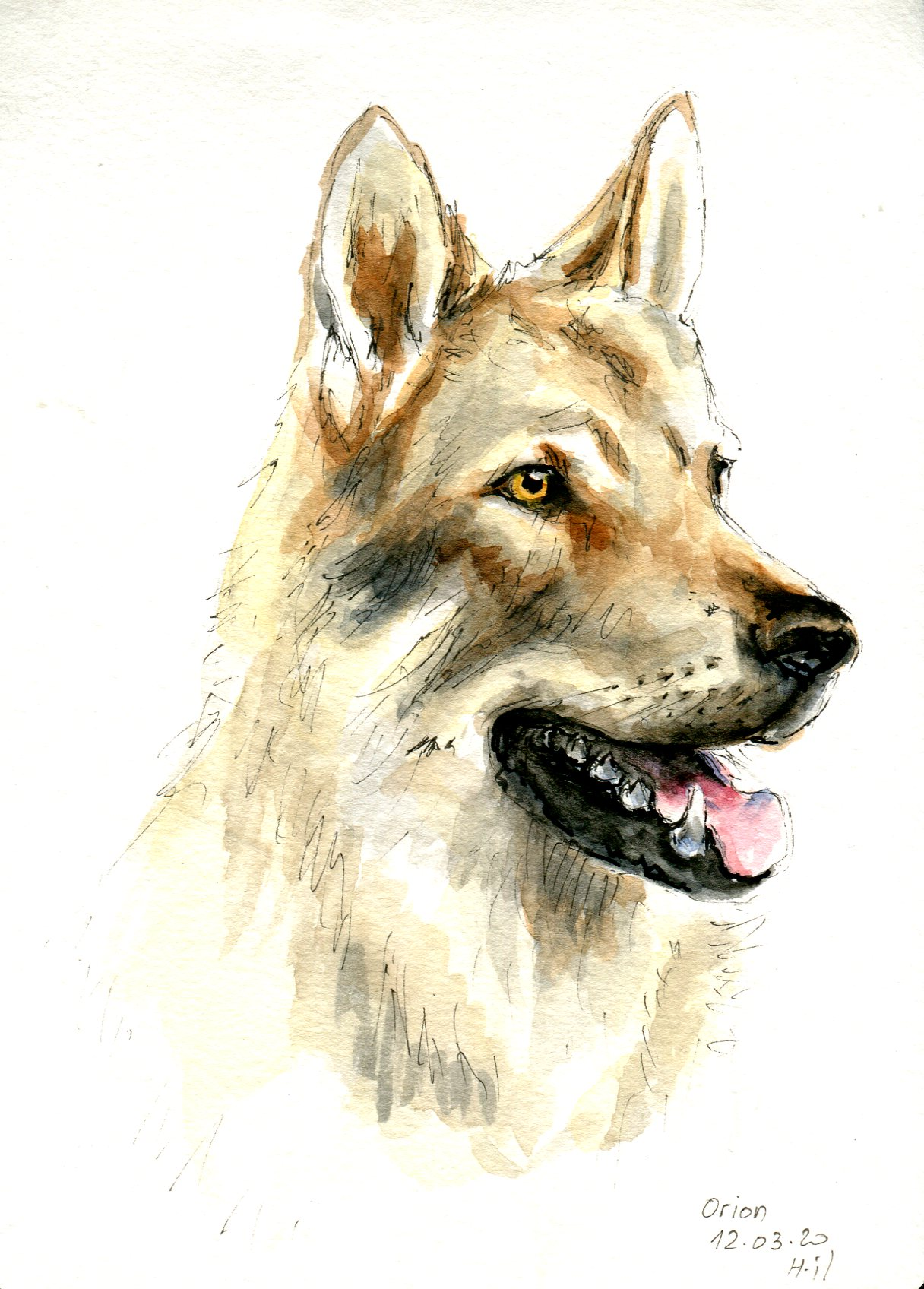 Chien loup141