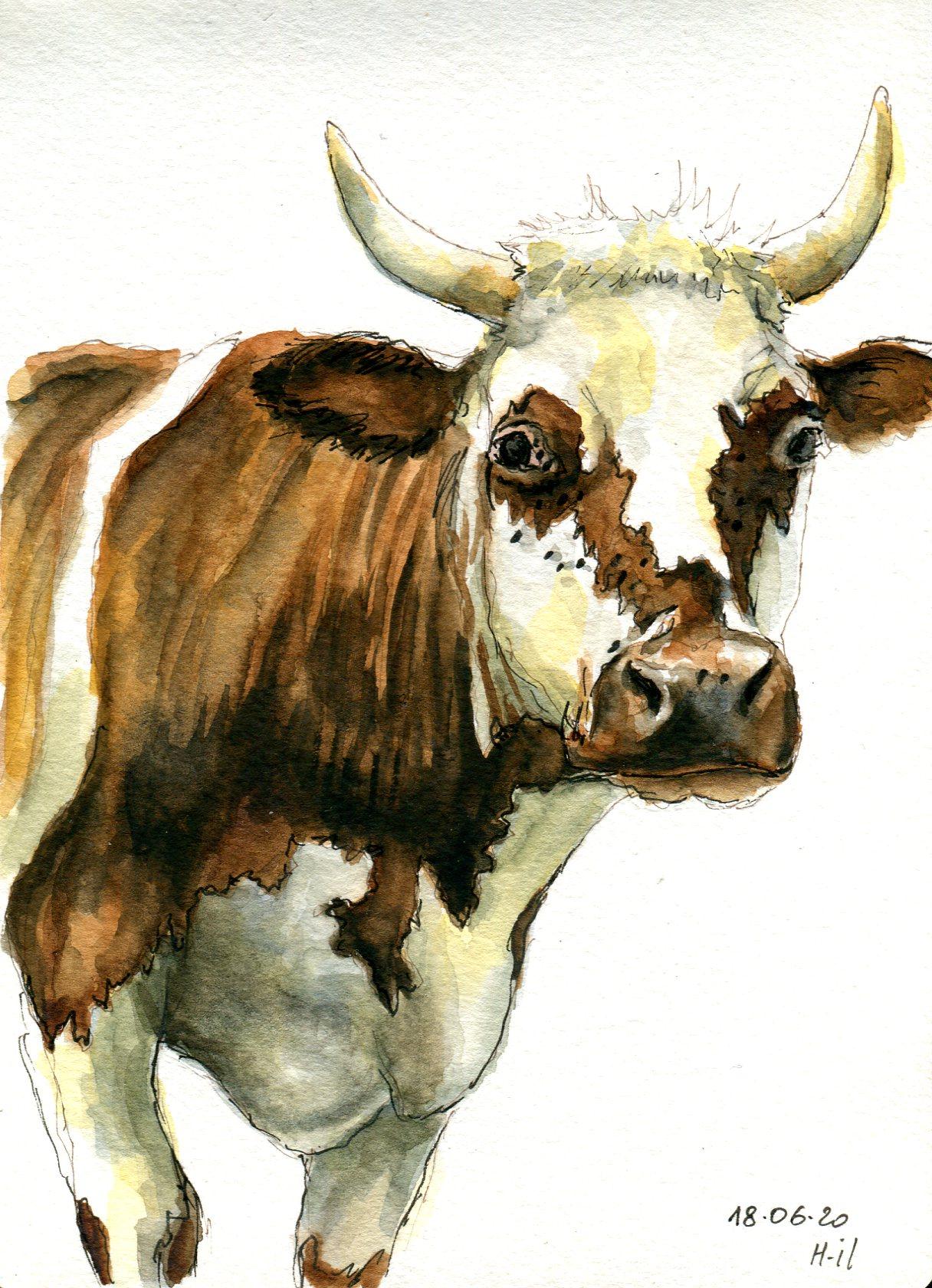 Vache normande029