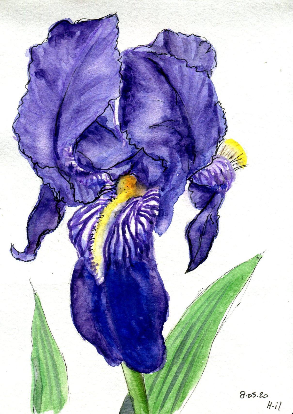 Iris062