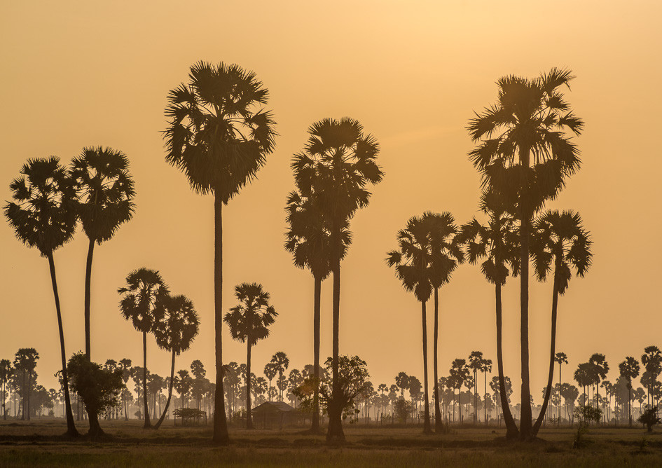 Sunset over Palm trees, Cambodia