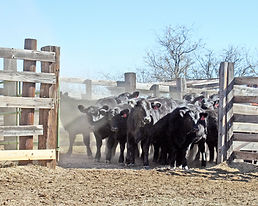 Cattle-for-web.jpg