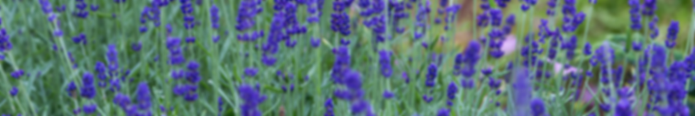 Lavender-field-web.png