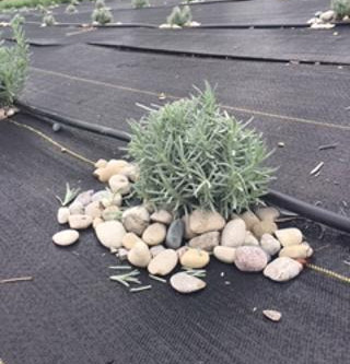 How To Plant and Care For Your Lavender - Part 2