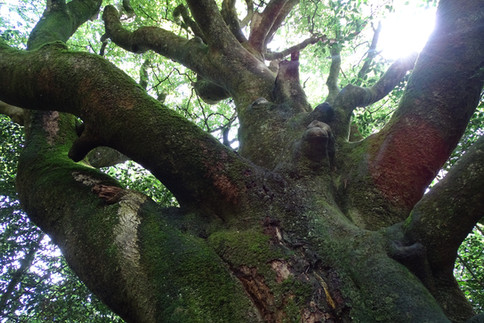 L'arbre du voyageur (Paimpont) 2.JPG