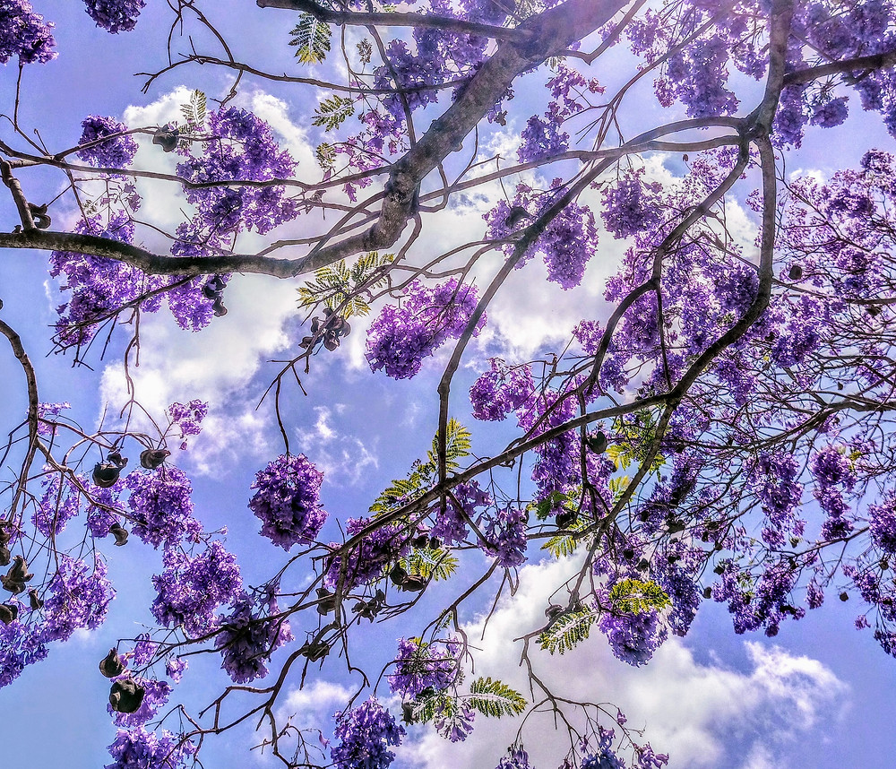Nice shot of the Jacaranda tree which flowers for a few weeks in summer. can sometimes be like our new year resolutions - they sprout for a few weeks - look amazing then slowly die off.