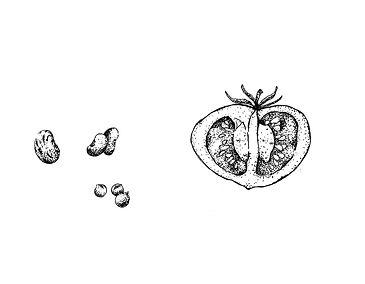 Semillas y fruto