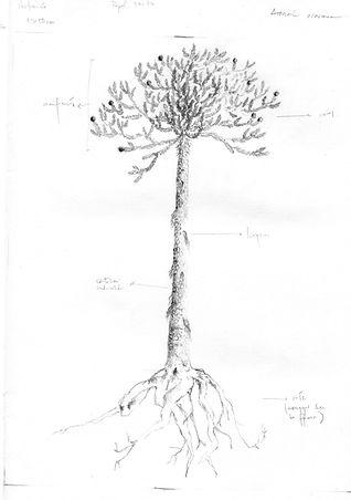 araucaria boceto001.jpg