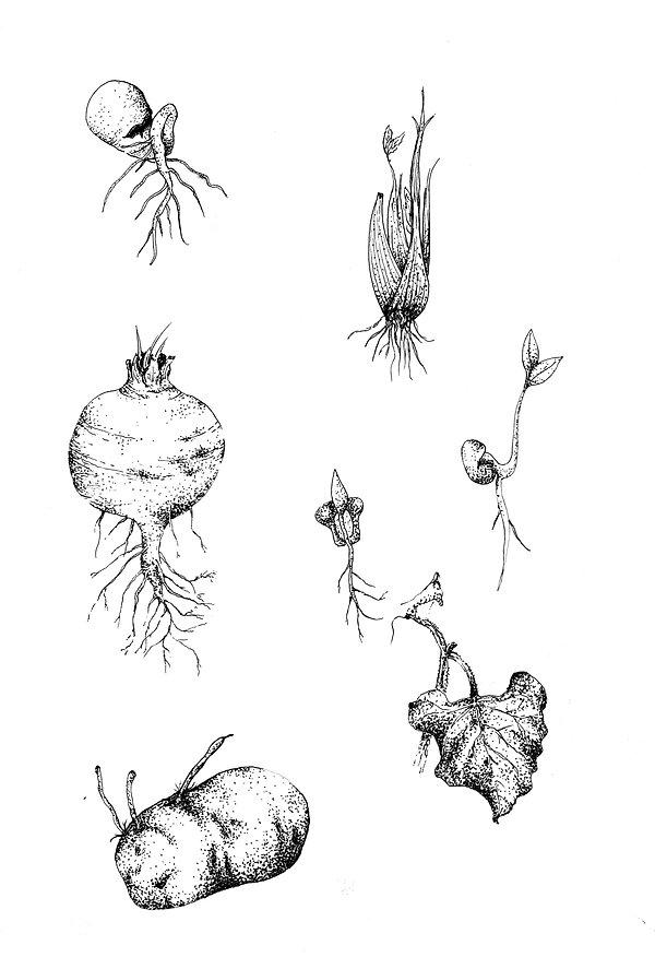 Partes comestibles plantas
