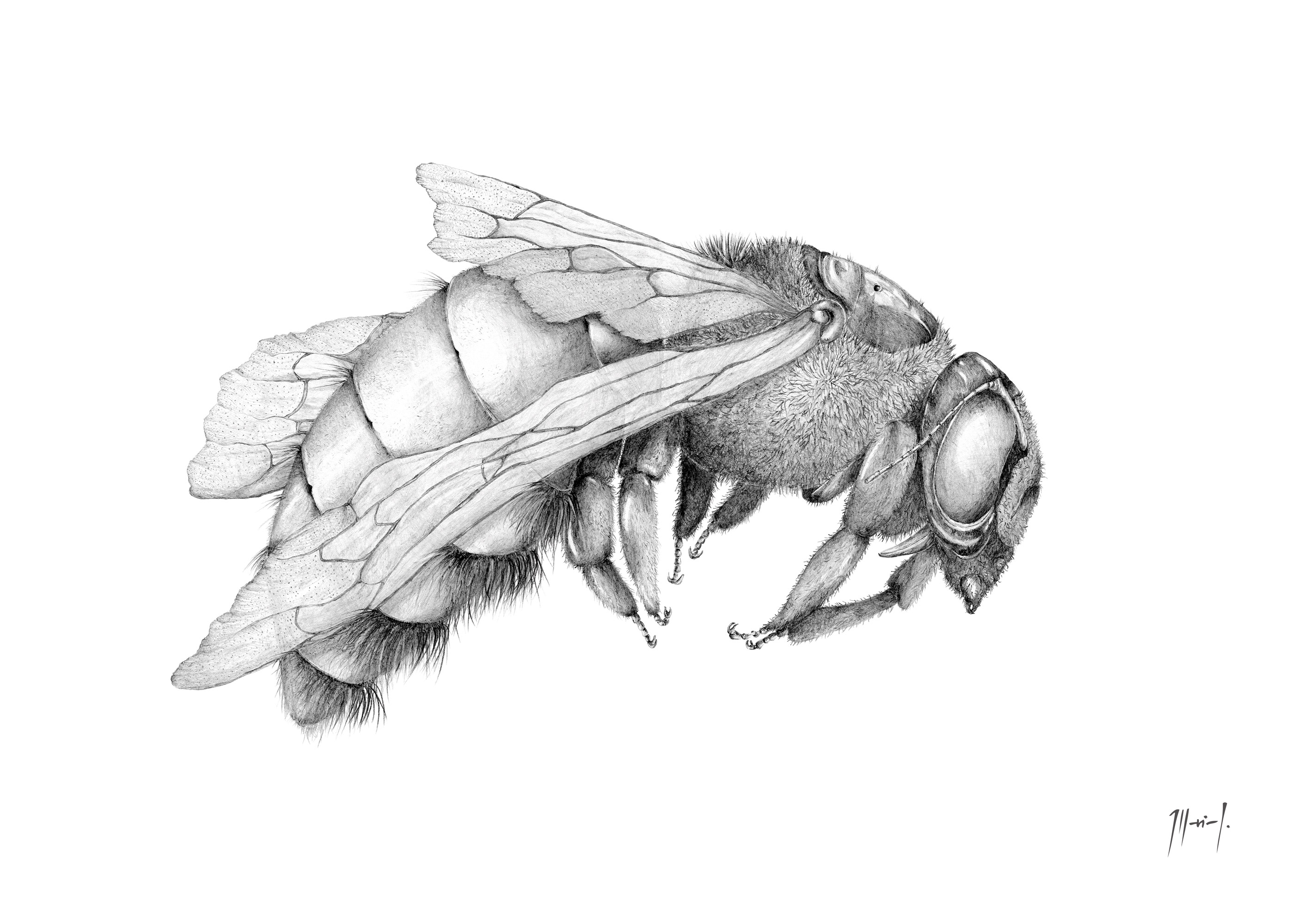 Abejorro   Illustraciencia