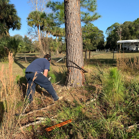 Dead Pine Removal