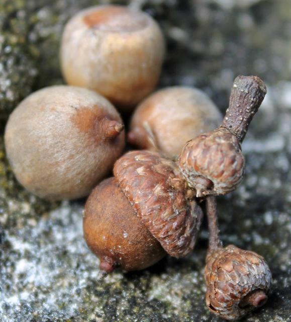Water Oak Acorns