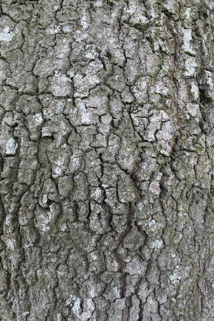 Water Oak Bark