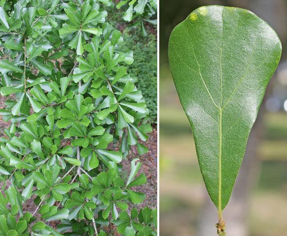 Water Oak Leaves